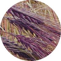 orge violette