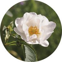 rose de Vénus